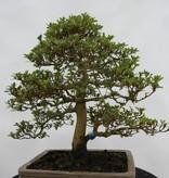 Bonsai Azalee Satsuki, Azalea Satsuki, nr. 5692