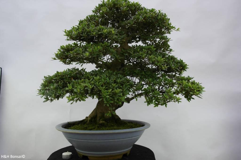 Bonsai Azalee Satsuki, Azalea SatsukiJuko, nr. 5707