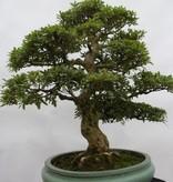 Bonsai Azalea Satsuki Akane, nr. 5876