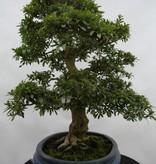 Bonsai Azalea Satsuki, nr. 5867