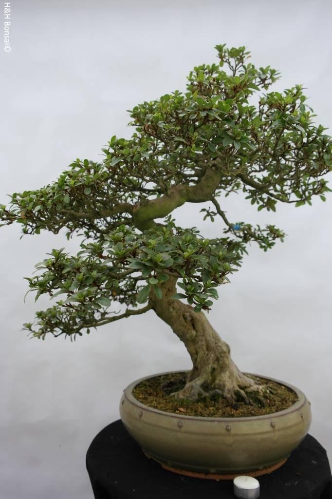 bonsai azalee satsuki azalea satsuki kaho nr 5874 www. Black Bedroom Furniture Sets. Home Design Ideas