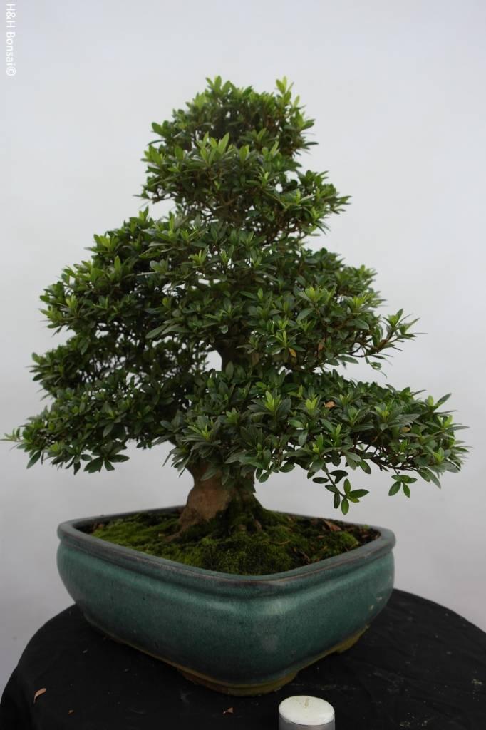 Bonsai Azalee Satsuki, Azalea SatsukiJuko no Homare, nr. 5687
