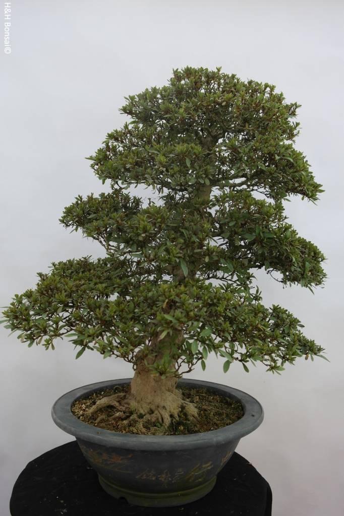 Bonsai Azalea Satsuki Nyohozan, nr. 5203