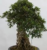 Bonsai Azalea Satsuki Nikko, nr. 5313