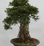 Bonsai Azalee Satsuki, Azalea Satsuki Nikko, nr. 5313