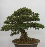 Bonsai Azalea Satsuki, nr. 5878