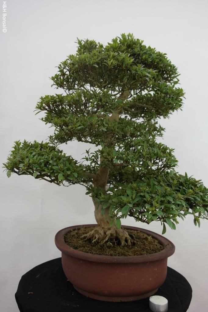 Bonsai Azalee Azalea Satsuki Saiko, no. 5204