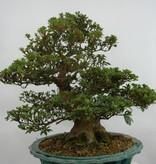 Bonsai Azalee Satsuki, Azalea Satsuki, nr. 5251