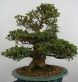 Bonsai Azalea Satsuki, nr. 5251