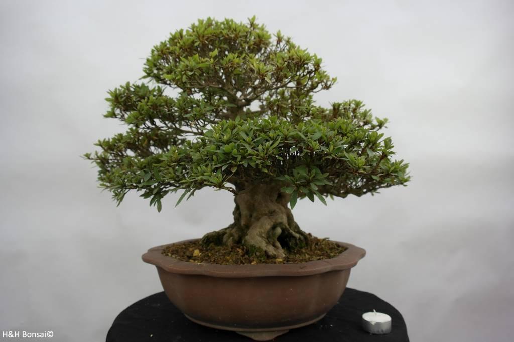 Bonsai Azalea Satsuki Nikko, nr. 5186