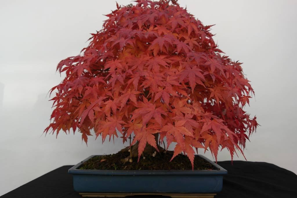 Bonsai Japanese maple, Acer palmatum, no. 5509