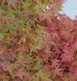 Bonsai Jap. Fächerahorn, Acer palmatum, nr. 5508