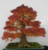 Bonsai Acer palmatum, Japanse esdoorn, nr. 5499
