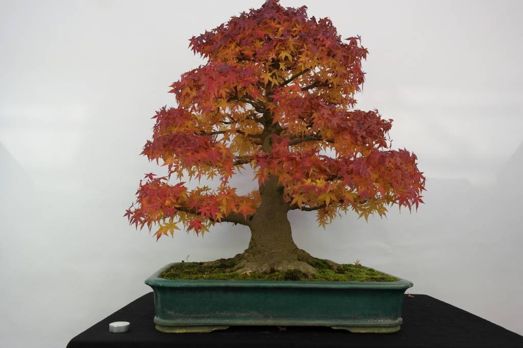 Bonsai Japanese maple, Acer palmatum, no. 5499