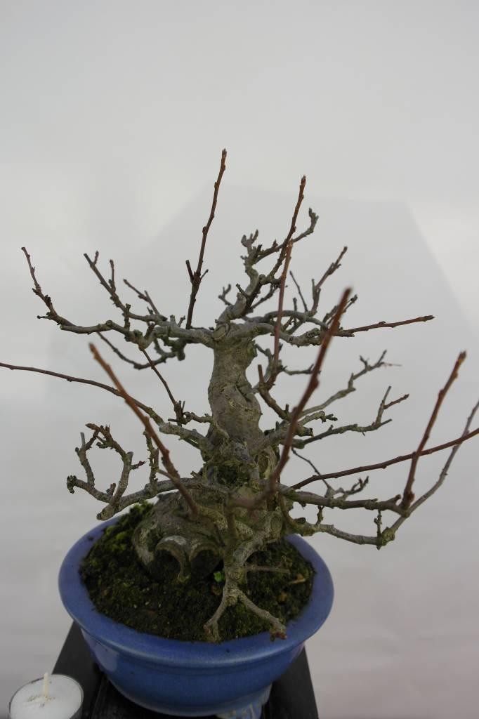 Bonsai Malus sieboldii, Japanse appel, nr. 5105