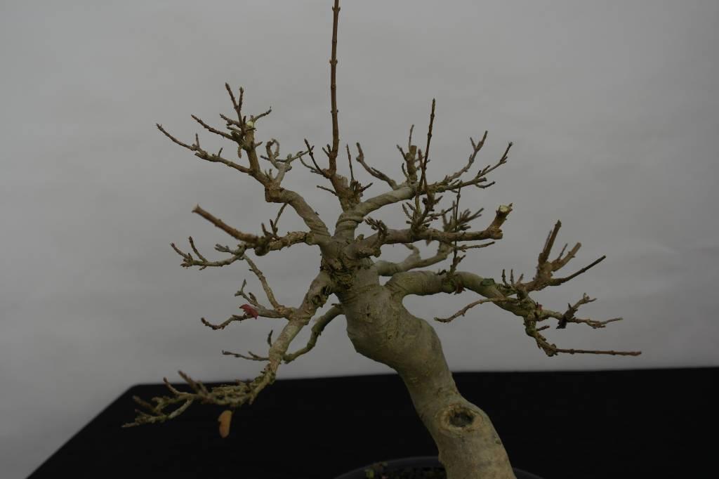 Bonsai Trident maple, Acer buergerianum, no. 5513
