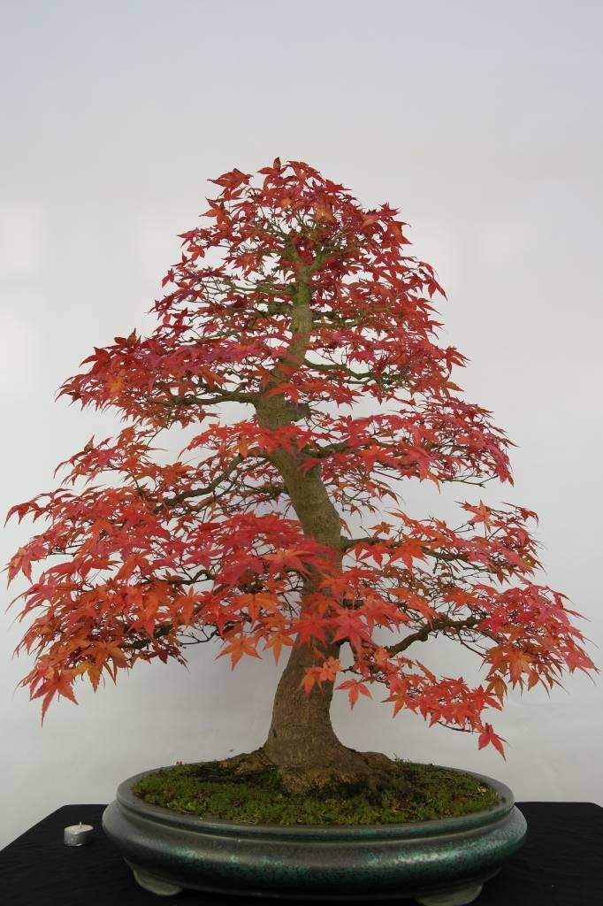 Bonsai acer palmatum deshojo japanse esdoorn nr 5231 for Most expensive bonsai tree ever