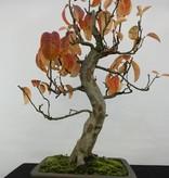 Bonsai Quitte, Cydonia oblonga, nr. 5234
