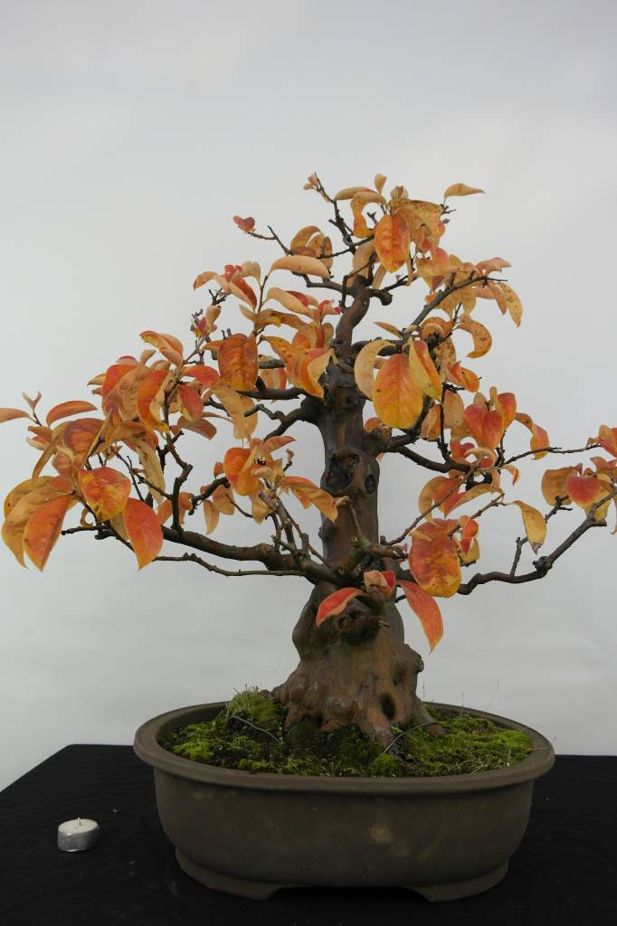 Bonsai Quitte, Cydonia oblonga, nr. 5573