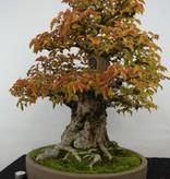 Bonsai Carpinus coreana, Koreaanse Haagbeuk, nr. 5229