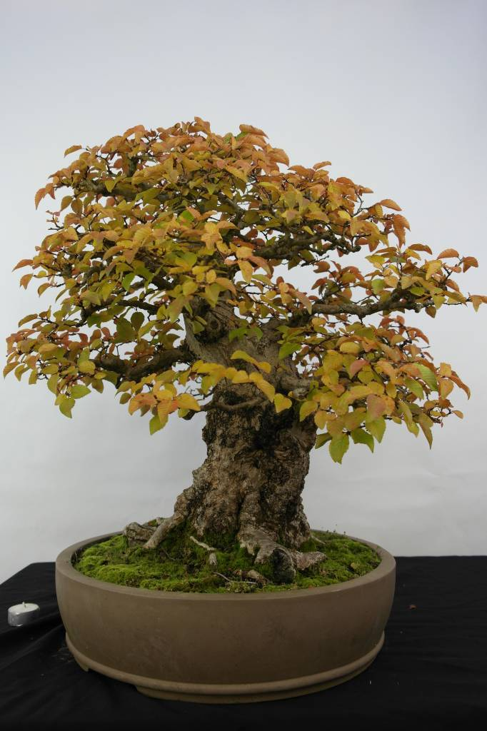 Bonsai Koreanische Hainbuche, Carpinus coreana, nr. 5229