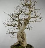 Bonsai Koreanische Hainbuche, Carpinus coreana, nr. 5137