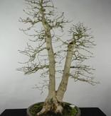 Bonsai Carpinus coreana, Koreaanse haagbeuk, nr. 5139