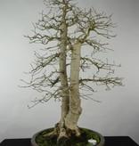 Bonsai Korean Hornbeam, Carpinus coreana, no. 5139