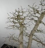 Bonsai Koreanische Hainbuche, Carpinus coreana, nr. 5139