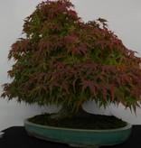 Bonsai Acer palmatum, Japanse esdoorn, nr. 5521