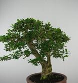 Bonsai Carmona macrophylla, nr. 6506