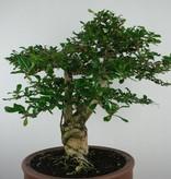 Bonsai Fukientee, Carmona macrophylla, nr. 6506