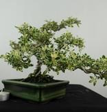 Bonsai Junischnee variegata, Serissa variegata, nr. 6507