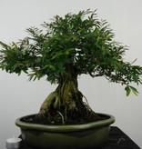 Bonsai Kartoffelstrauch, Phyllanthus, nr. 6514