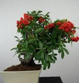 Bonsai Firethorn,Pyracantha, no. 6523