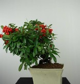 Bonsai Pyracantha, Vuurdoorn, nr. 6523