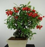 Bonsai Pyracantha, Vuurdoorn, nr. 6524