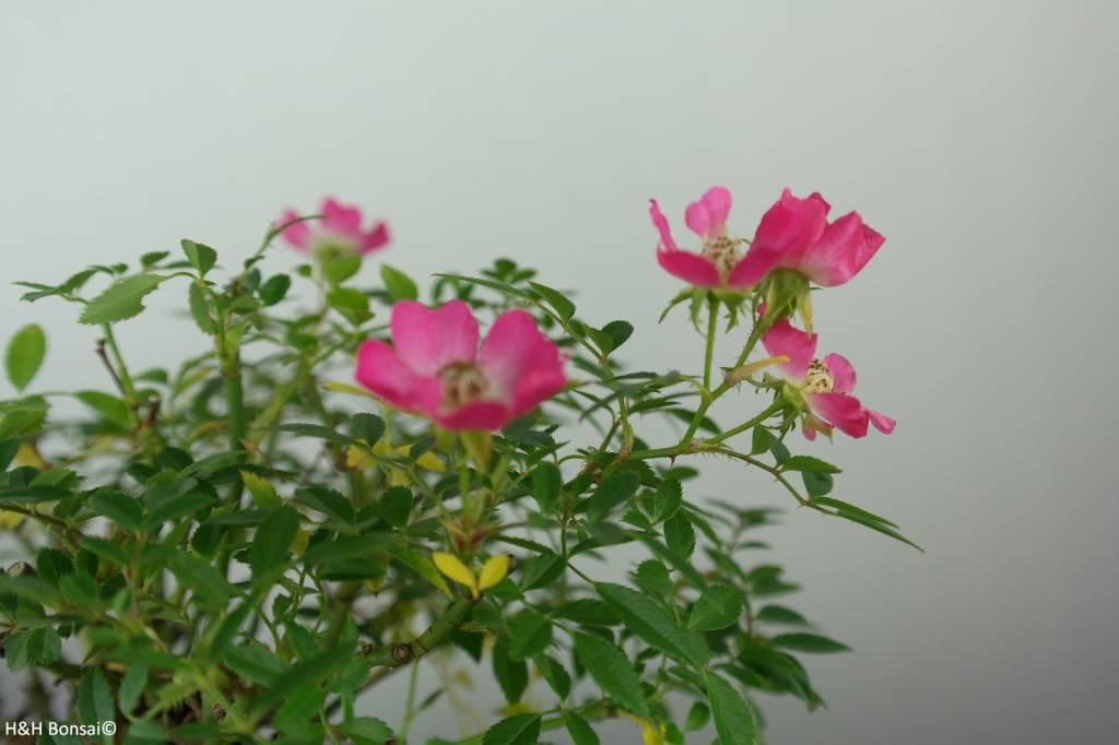 Bonsai Rosa sp., Roos, nr. 6526