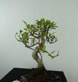 Bonsai Ficus retusa, nr. 6538