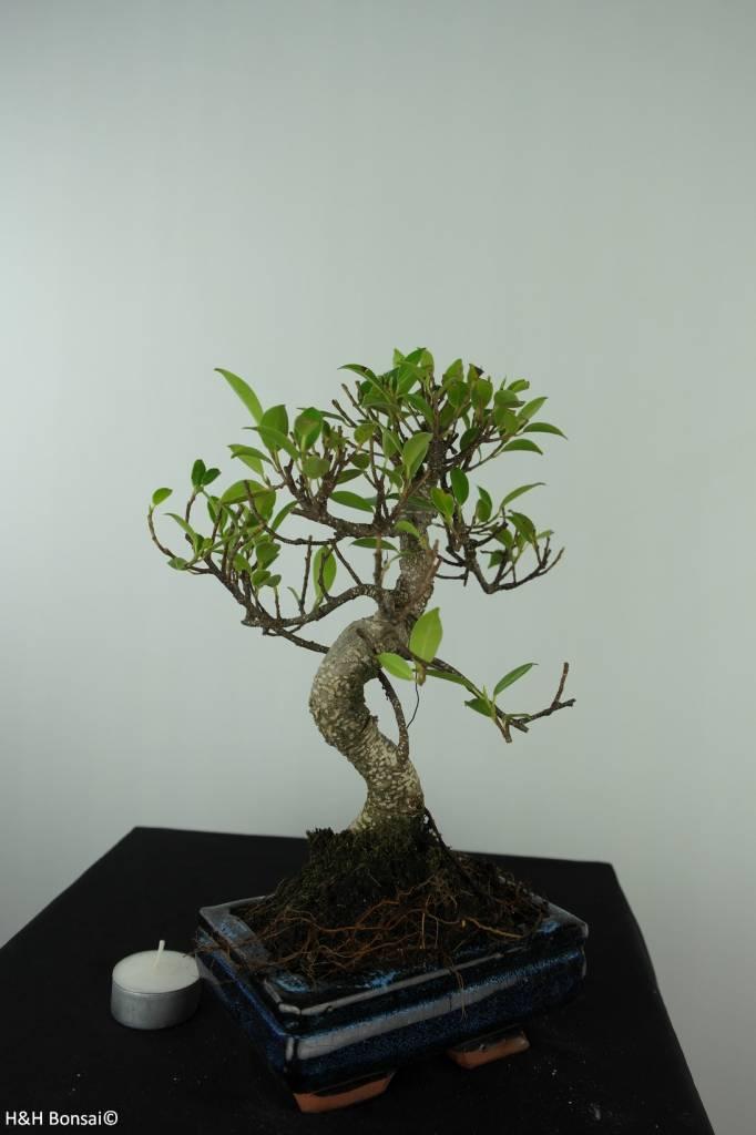 Bonsai Chin. Feigenbaum, Ficus retusa, nr. 6538