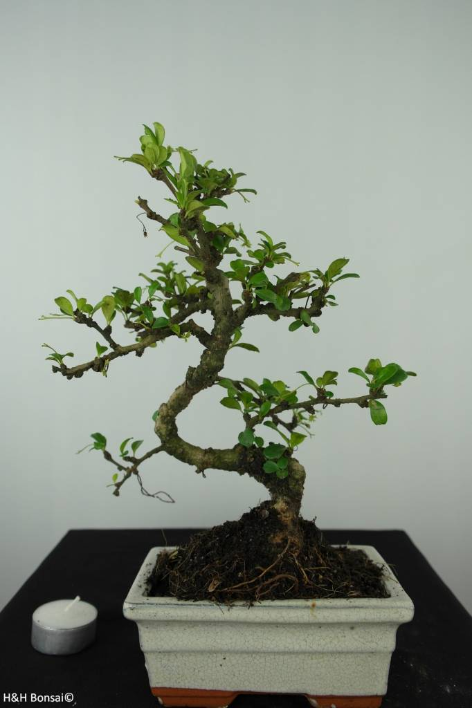 Bonsai Carmona macrophylla, nr. 6558
