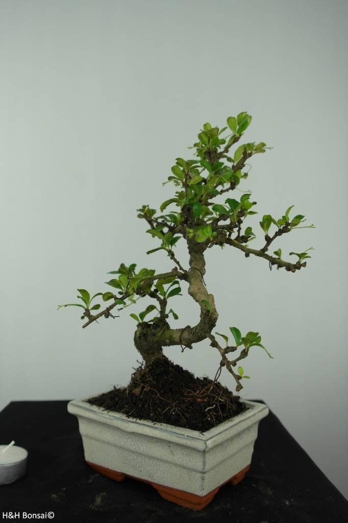 Bonsai Fukientee, Carmona macrophylla, nr. 6558