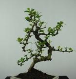 Bonsai Fukientee, Carmona macrophylla, nr. 6561