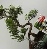 Bonsai gift set Syzygium, no. G37