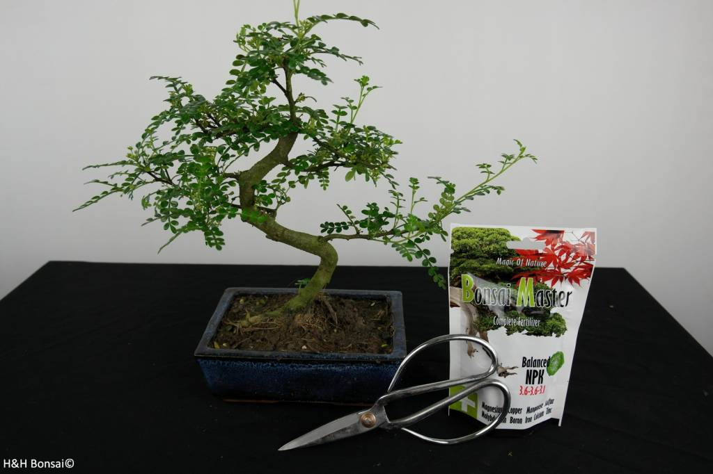 Bonsai gift set Japanese Pepper, no. G39