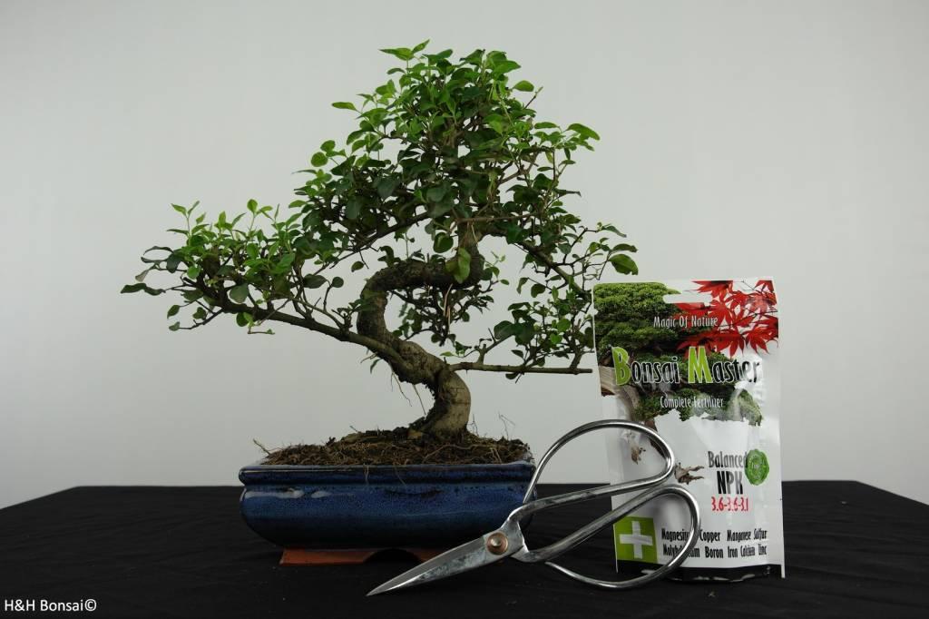 Bonsai geschenk Ligustrum, nr. G40