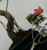 Bonsai gift set Fig tree, no. G41