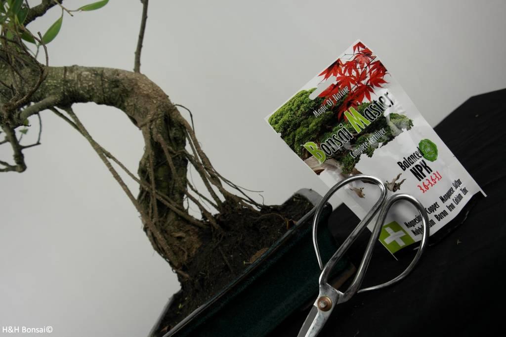 Bonsai gift set Fig tree, no. G41