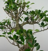 Bonsai Geschenk Chin. Feigenbaum, nr. G41