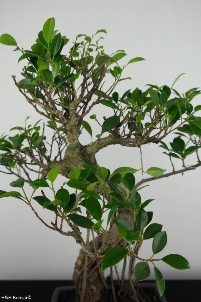 Bonsai geschenk Ficus, nr. G41